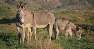 BLM Wild Horse and Donkey Adoption Event @ The Rio Grande Valley Livestock Showgrounds