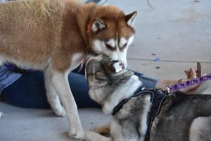 Texas Husky Rescue - Meet & Greet @ Hollywood Feed